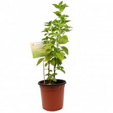 KETS PLANT BASIL lrg