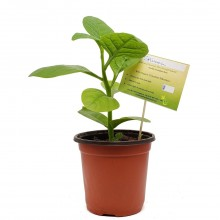 KETS PLANT SPINACH 1ct
