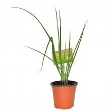 KETS PLANT ESCALLION sml