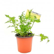 KETS PLANT CILANTRO 1ct