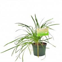 KETS PLANT GARLIC CHIVE 1ct