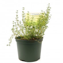 KETS PLANT THYME 1ct