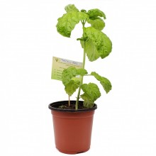KETS PLANT BASIL 1ct